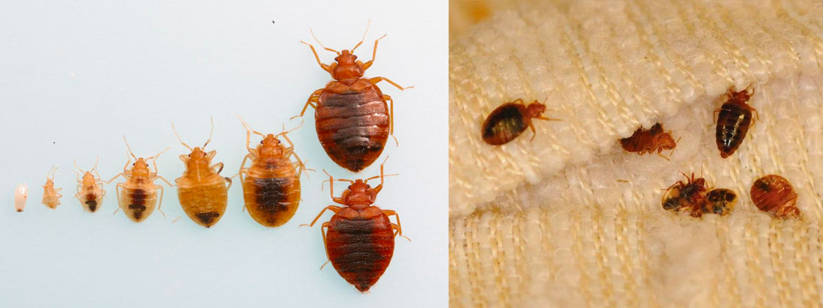 What Do Bed Bugs Look Like Lady Killers Pest Control